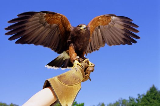 Falconry at Gleneagles Hotel ©Courtesy of Gleneagles