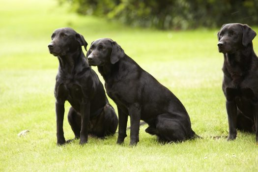 Gun Dogs at Gleneagles Hotel ©Courtesy of Gleneagles