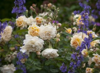 Rose and nepeta (catmint) in The Old Garden at Hidcote, Gloucestershire, in June ©NationalTrustImages/Jonathan Buckley